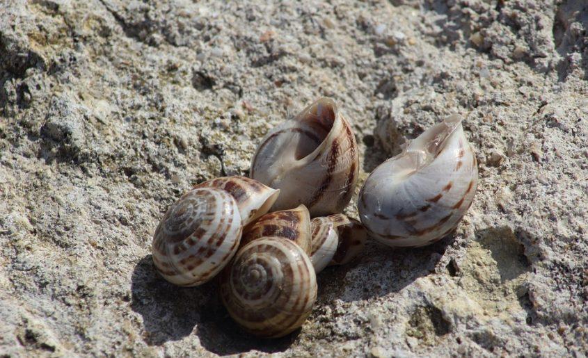 Lumache di mare come si puliscono